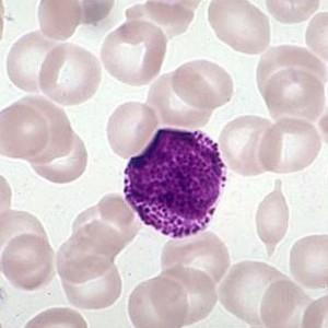 Миелоциты в крови